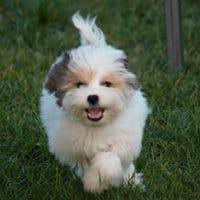 Bichon petit chien lion mady