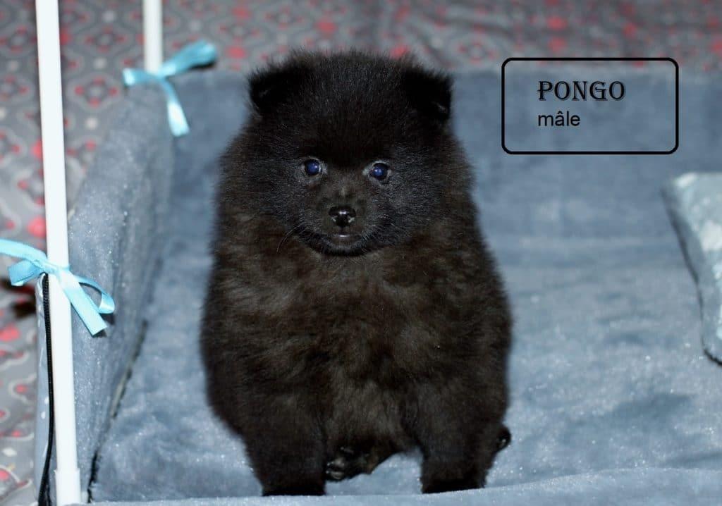 PONGO 01